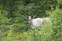 Reindeer, rangifer tarandus fennicus, Lappland, Finnland