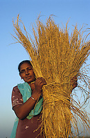 "S?dasien Asien Indien IND .Transfair Fairtrade und Bio Basmati Reis Projekt Khaddar Farmer bei Dehradun , Frau mit Reisb?schel -  Landwirtschaft Bio fairer Handel Basmati Reis Duftreis Inder indisch indischer H?nde handvoll Bio Bauer Frauen Reiskorn Reisk?rner Ernte Reisernte Entwicklung l?ndliche xagndaz | .South Asia India .Fairtrade Transfair and organic Basmati rice project of Khaddar Farmers near Dehradun , woman with rice straw and grain -  agriculture farming paddy fragrant rice Basmati food indian women harvest rural development .| [ copyright (c) Joerg Boethling / agenda , Veroeffentlichung nur gegen Honorar und Belegexemplar an / publication only with royalties and copy to:  agenda PG   Rothestr. 66   Germany D-22765 Hamburg   ph. ++49 40 391 907 14   e-mail: boethling@agenda-fototext.de   www.agenda-fototext.de   Bank: Hamburger Sparkasse  BLZ 200 505 50  Kto. 1281 120 178   IBAN: DE96 2005 0550 1281 1201 78   BIC: ""HASPDEHH"" ,  WEITERE MOTIVE ZU DIESEM THEMA SIND VORHANDEN!! MORE PICTURES ON THIS SUBJECT AVAILABLE!! INDIA PHOTO ARCHIVE: http://www.visualindia.net ] [#0,26,121#]"