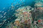 Mulak Kandu, Mulaku Atoll, Maldives; a school of Bluestreak Fusilier (Pterocaesio tile) fish swimming over the coral reef