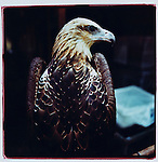 JULY 2000  --  JAKARTA, INDONESIA. At the bird market  known as Pasar Barito an eagle is for sale. .