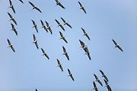 Kranich, Trupp, Schwarm, Vogelschwarm, Flug, Flugbild, fliegend, Grus grus, Crane, Grue cendrée