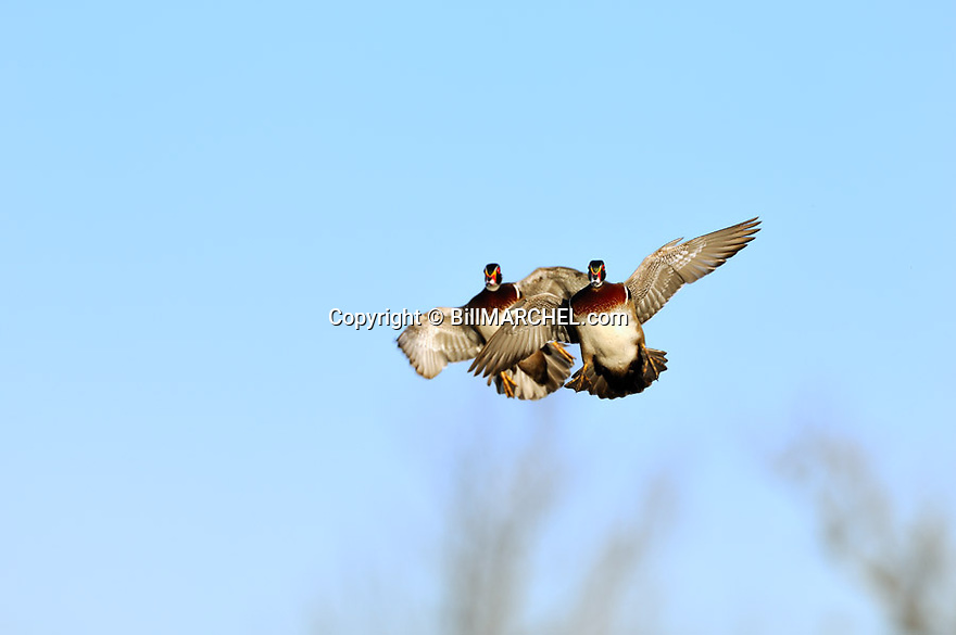 00360-080.18 Wood Duck (Digital) pair of drakes in flight with wings set for a landing.  H2F1