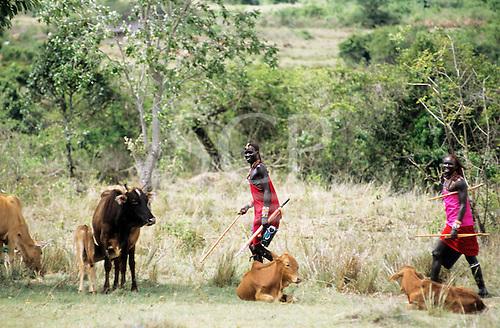 Lolgorian, Kenya. Smiling Maasai moran passing cows and calves carrying an umbrella and a radio.