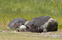 Two Hippopotamuses, Hippopotamus amphibius, rest at the edge of a pond while a Sacred Ibis, Threskiornis aethiopicus, passes by. Ngorongoro Crater, Ngorongoro Conservation Area, Tanzania.