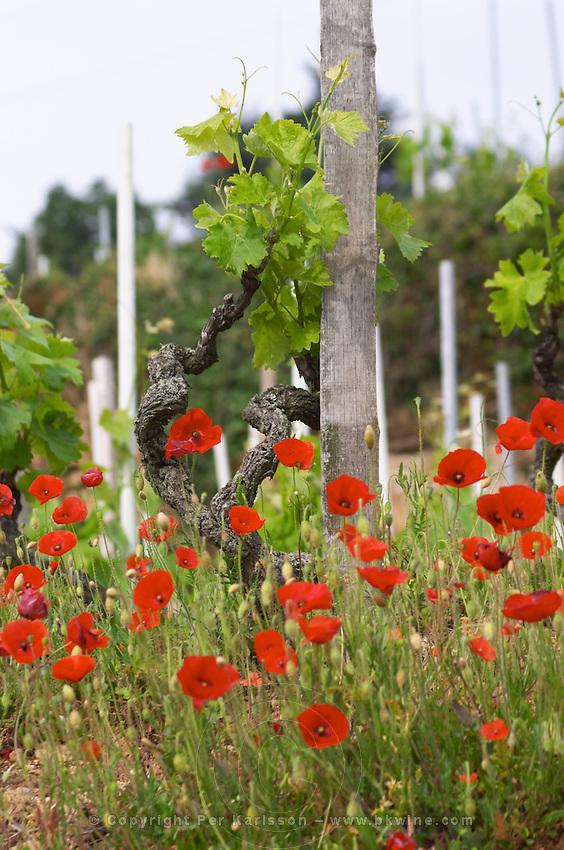 syrah gobelet training vineyard poppies dom a voge cornas rhone france