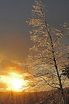 Glistening Ice Covered Birch Branches during Sunset on a Wintry Hilltop in New Hampshire