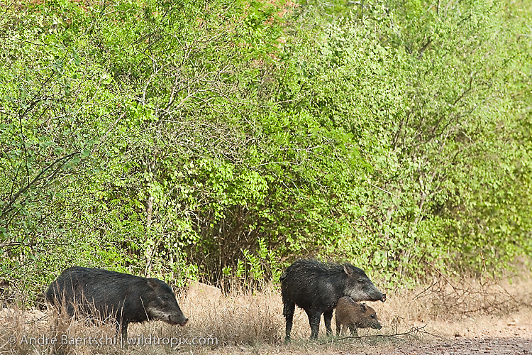 White-lipped Peccaries (Tayassu pecari) in tropical dry forest during dry season, Kaa-Iya del Gran Chaco National Park, Santa Cruz, Bolivia.