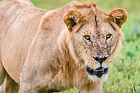 lion (Panthera leo), young male, Ndutu, Ngorongoro Conservation Area, Serengeti, Tanzania, Africa