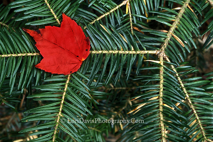 Maple Leaf On Fir Bough