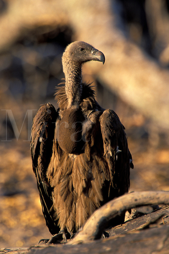 Hooded Vulture.Necrosyrtes monachus..Ralph Arwood.Inside-Out Photography, Inc..PO Box 7578.Naples, FL 34101.941-649-4209.RalphArwood@earthlink.net