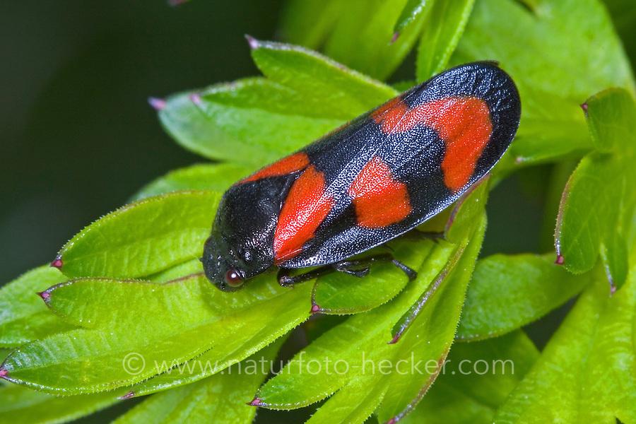 Blutzikade, Blut-Zikade, Rotschwarze Schaumzikade, Zikade, Cercopis vulnerata, Cercopis sanguinea, red-and-black froghopper