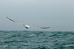 Southern Royal Albatross (Diomedea epomophora) gliding over ocean, Kaikoura, South Island, New Zealand
