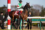 FUNABASHI,JAPAN-DECEMBER 25: Rey de Oro,ridden by Christophe Lemaire,is preparing for the Hopeful Stakes at Nakayama Racecourse on December 25,2016 in Funabashi,Chiba,Japan (Photo by Kaz Ishida/Eclipse Sportswire/Getty Images)
