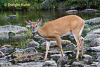 MA11-565z  Northern (Woodland) White-tailed Deer eating pond plants, Odocoileus virginianus borealis