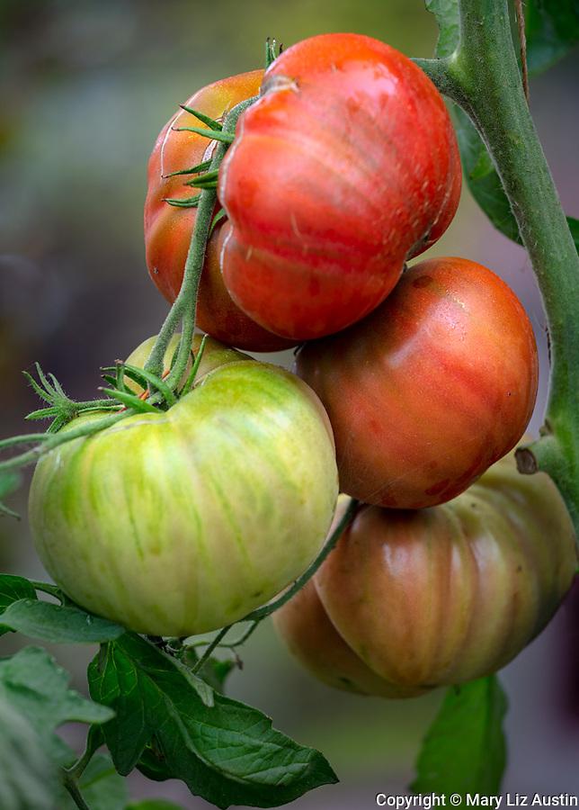 Vashon-Maury Island, WA: Detail of tomatoes on the vine 'Chef's Choice Black'' in late summer