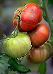 Vashon-Maury Island, WA: Detail of tomatoes on the vine 'Chef's Choice Black'' in late summer