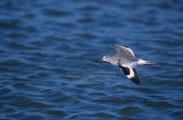 Willet, Catoptrophorus semipalmatus,adult in flight winter plumage, Sanibel Island, Florida, USA