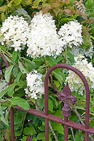 Hydrangea paniculata 'Limelight with wrought iron fence'