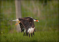 Adult Crested Caracara in flight, low to the ground with wings in downstroke