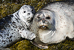 Seals, Sea Lions and Sea Otters