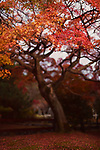 Beautiful red Japanese maple tree, Acer palmatum, in a garden in autumn Kyoto, Japan Image © MaximImages, License at https://www.maximimages.com