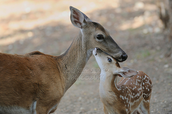 White-tailed Deer (Odocoileus virginianus), mother and fawn, New Braunfels, San Antonio, Hill Country, Central Texas, USA
