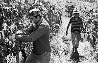 Raccolta dell'uva ai vigneti dei signori Franchini presso Montescano (Pavia) nell'Oltrepò Pavese. Un lavoratore pachistano con cittadinanza italiana assunto per la vendemmia --- Grape harvest at Franchini's vineyards near Montescano (Pavia) in the Oltrepò Pavese. A worker from Pakistan with italian citizenship employed for the harvest