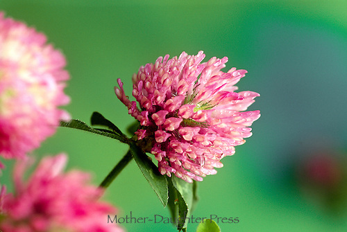 Red clover, Trifolium pratense, pink flower close up with dew and nectar on florets