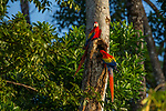 Scarlet Macaw (Ara macao) male and female checking out hole in tree as potential nest cavity, Osa Peninsula, Costa Rica