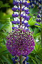 Allium 'Purple Sensation' and purple-and-white lupin 'The Governor', end May.