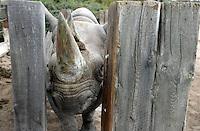 Schwangeres Spitzmaulnashorn Sarafine (11) im Leipziger Zoo / pregnant black rhinocerus / rhino in the Zoo of Leipzig .Foto: aif / Norman Rembarz..Jegliche kommerzielle wie redaktionelle Nutzung ist honorar- und mehrwertsteuerpflichtig! Persönlichkeitsrechte sind zu wahren. Es wird keine Haftung übernommen bei Verletzung von Rechten Dritter. Autoren-Nennung gem. §13 UrhGes. wird verlangt. Weitergabe an Dritte nur nach  vorheriger Absprache. Online-Nutzung ist separat kostenpflichtig..
