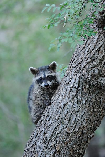 Northern Raccoon (Procyon lotor), young climbing Cedar Elm (Ulmus crassifolia), New Braunfels, San Antonio, Hill Country, Central Texas, USA
