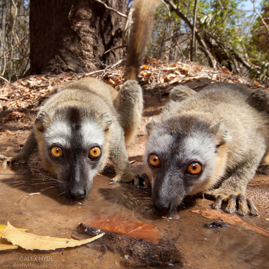 Red fronted brown lemurs {Lemur fulvus rufus} drinking from pool in dry deciduous forest, wide angle view showing habitat, Kirindy forest, West Madagascar.