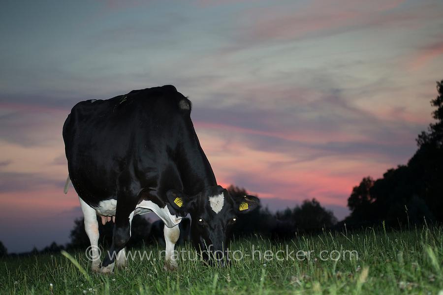 Rind, Hausrind, Kuh, Kühe, Rinder, Milchkuh, Milchkühe, Abendstimmung, Sonnenuntergang, artgerechte Tierhaltung, Weidevieh, Weidewirtschaft, Abendrot, Abendhimmel, Abendstimmung. cattle, cow, milk cow, milk cows, milker, sunset, sundown, afterglow, Evening mood. Hamfelder Hof, Schleswig-Holstein