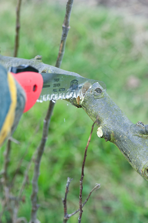 Prune heavy branches with a series of cuts to prevent the wood from tearing. Step 2 of 4. Make a top cut straight down about 2cm (3/4in) further along the branch from the undercut.