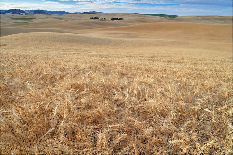 Vast wheat field at sunrise. The Palouse. Washington