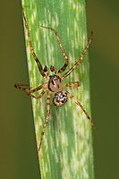 Spinnenfresser, Männchen, Ero furcata, Pirate spider, male, Spinnenfresser, Mimetidae, Pirate spiders