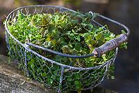Erntekorb mit jungen, frischen Blätter im zeitigen Frühjahr, Ernte, Kräuterernte, Kräutertee, Kräutersammeln, harntreibende Kräuter, Frühjahrskur, Frühlingskur, Blutreinigung, Stoffwechselanregend. Kletten-Labkraut, Klett-Labkraut, Klettenlabkraut, Klettlabkraut, Klebkraut, Klettkraut, Galium aparine, Cleavers, Goosegrass, catchweed, stickyweed, stickybud, robin-run-the-hedge, sticky willy, Le Gaillet gratteron. Gewöhnliche Vogelmiere, Vogelmiere, Vogel-Sternmiere, Hühnerdarm, Stellaria media, common chickweed, chickweed, chickenwort, craches, maruns, winterweed, La Stellaire intermédiaire, Morgeline. Große Brennnessel, Brennnessel, Brennnesseln, Brennessel, Urtica dioica, Stinging Nettle, common nettle, nettle, nettle leaf, La grande ortie, ortie dioïque, ortie commune