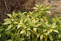 Aucuba japonica 'Golden King' shrub against stone wall in garden
