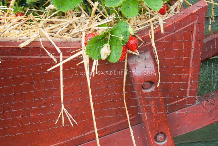 Netting over strawberries in pot container for fruit crop protection to keep out birds and wildlife from eating berry in the garden, mulched with straw