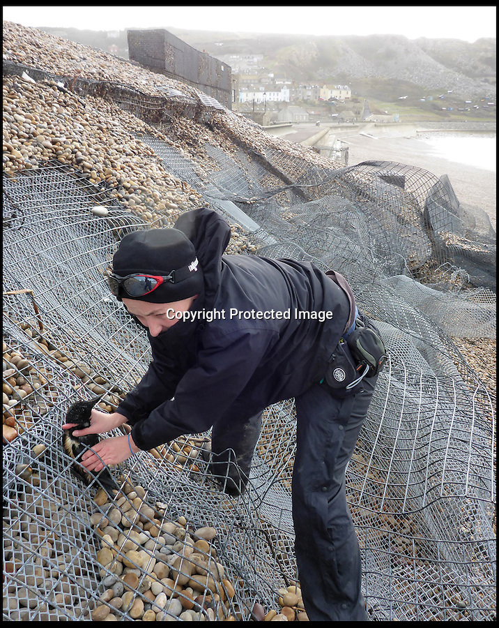 """BNPS.co.uk ()1202 558833)<br /> Pic: MarcSmith/DWT/BNPS<br /> <br /> ***Must Use Full Byline***<br /> <br /> A miracle survivor from storm lashed Portland beach in Dorset - This Razorbill was rescued alive by Angela Thomas of the DWT from the wire shingle cages of the battered sea defences.<br /> <br /> A plucky razorbill bird has had an amazing escape after it was found trapped inside a wire cage that makes up sea defences having been washed into by the recent storms.<br /> <br /> The helpless sea bird was swept into the gabion - a large cage filled with rocks and shingle to stabilise the shoreline - by powerful 30ft waves.<br /> <br /> Wildlife volunteers found it wedged inside as they picked up about 100 dead sea birds that had died as a result of the winter storms from off the beach at Chiswell Cove, Portland, Dorset.<br /> <br /> The puffins, guillemots, razorbills and kittiwakes have perished because heavy seas have meant they have been unable to hunt for fish.<br /> <br /> The stranded razorbill was found alive from the gabion and taken to an RSPCA centre to recuperate.<br /> <br /> Angela Thomas, an assistant warden at the Chesil Bank and Fleet Nature Reserve, said: """"The force of the waves had emptied the shingle from the metal cage, but somehow a razorbill had become trapped inside.<br /> <br /> """"It was hard to get it out, it would not have escaped without our help, so we're glad we managed to spot it."""""""