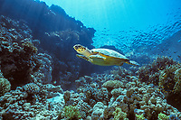 Hawksbill Turtle, Eretmochelys imbricata, Red Sea, Egypt, Northern Africa