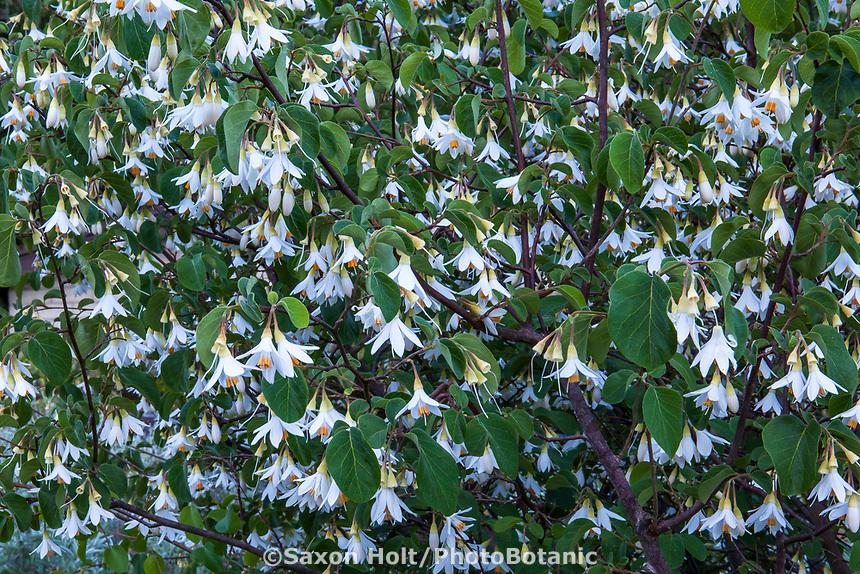 Styrax officinalis var. redivivus Snowdrop Bush, flowering California native shrub; Regional Parks Botanic Garden, Berkeley, California