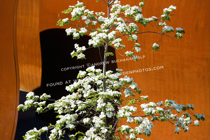 """Seen against the massive, rusty-orange, almost industrial background of Richard Serra's, """"Wake, 2004"""", this native dogwood bedecked with graceful, arching, flowering branches epitomizes the meeting of art and nature that was the goal of Charles Anderson and his team.   SAM's Olympic Sculpture Park, Seattle, WA."""