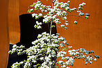 "Seen against the massive, rusty-orange, almost industrial background of Richard Serra's, ""Wake, 2004"", this native dogwood bedecked with graceful, arching, flowering branches epitomizes the meeting of art and nature that was the goal of Charles Anderson and his team.   SAM's Olympic Sculpture Park, Seattle, WA."