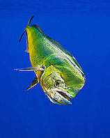 mahi-mahi, dorado, or common dolphin-fish, Coryphaena hippurus, adult bull, Kona Coast, Big Island, Hawaii, USA, Pacific Ocean