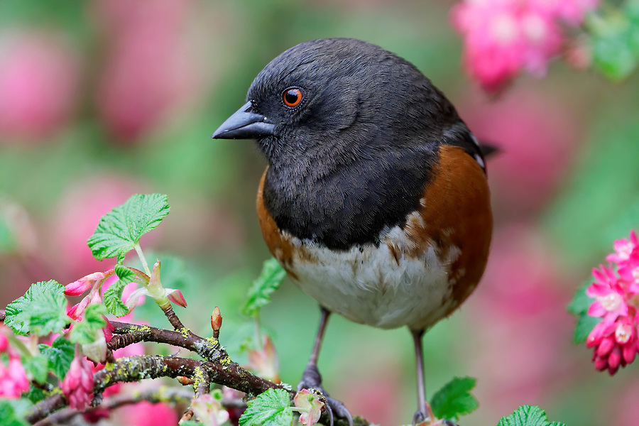 Male spotted towhee (Pipilo maculatus) perched on pink flowering currant bush, Snohomish, Washington, USA