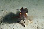 Black bass juvenile, centropristis striata