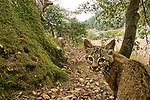 Bobcat (Lynx rufus californicus) kittens in deciduous forest near houses, Aptos, Monterey Bay, California