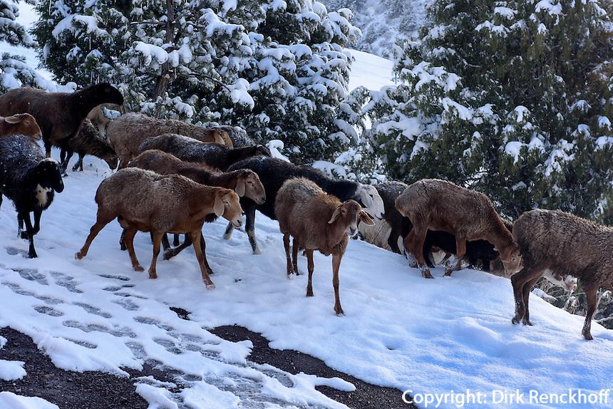 Schafherde im  Kirgisischen Alatau bei Ala Archa, Kirgistan, Asien<br /> flock of sheep in the Kirgisian Alatau mountains near Ala Archa, Kirgistan, Asia
